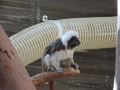 Tamarin Monkeys (cotton-tops) 3