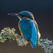 Male Kingfisher early morning by David Newby Images