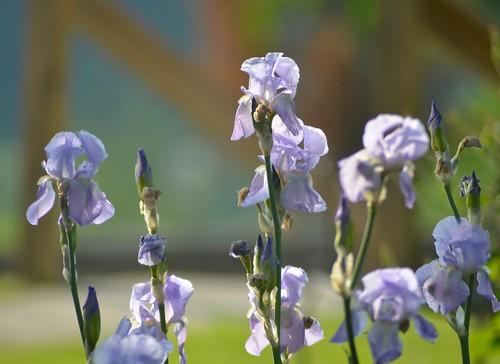 Mrs. Morgan's Irises