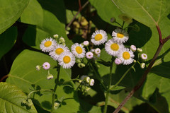 Fleabane in the Knotweed