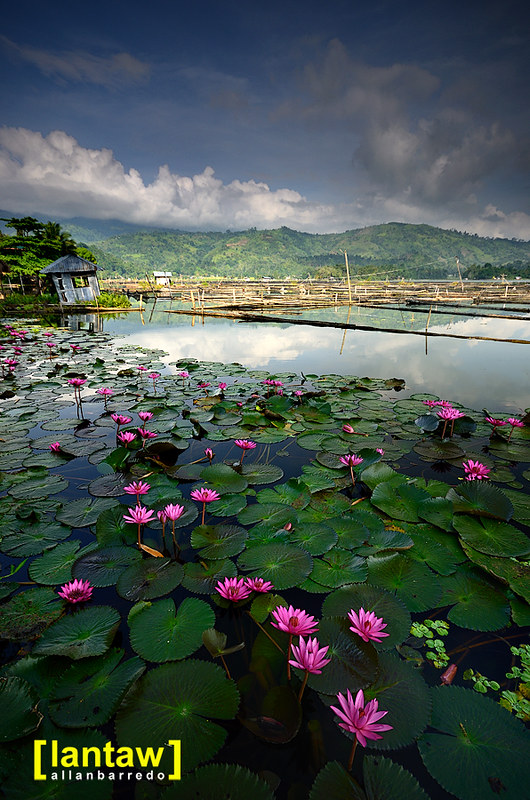 Lake Sebu lotus field