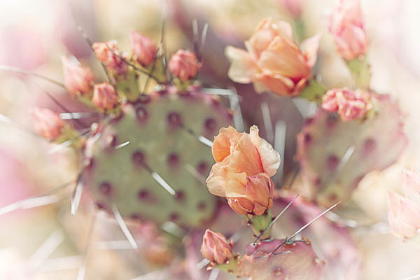 Prickly Pear Bloom, Vintage Touch