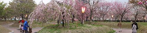 広島 造幣局の桜の通り抜け(花のまわりみち)2012 画像9
