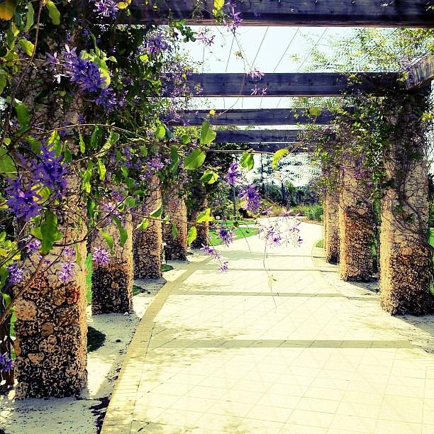 Queen 39 S Wreath Naples Botanical Garden Flowers Purple