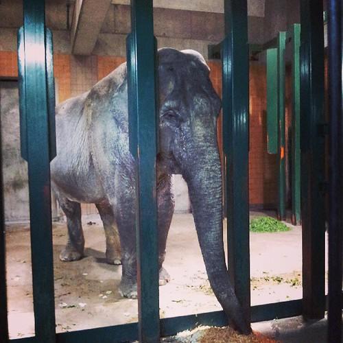 アジアゾウのはな子さん、健在でした。65歳!