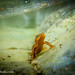 Rough-skinned newt (Taricha granulosa) - underwater in a rocky stream pool
