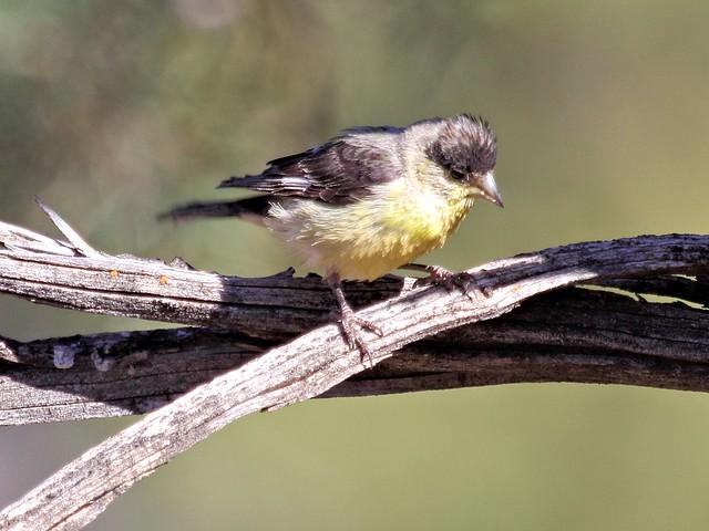 Lesser Goldfinch 20130619