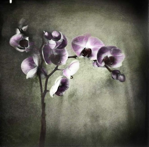 Orchid Still Life, colorized by Crunchy Footsteps