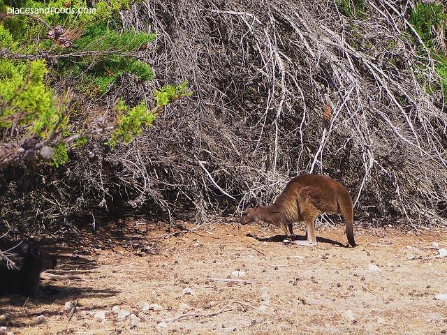 wild kangaroo 2