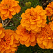 3rd Place - Novice - Emily Harrington - Orange Blossoms