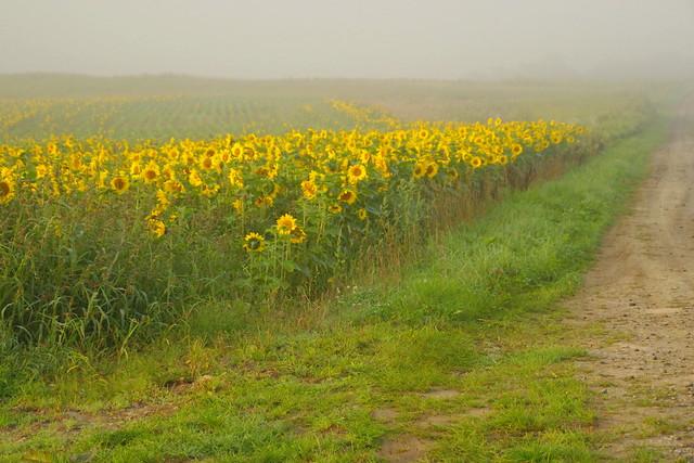 朝霧の中の向日葵3