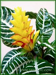 Aphelandra squarrosa 'Louisae' (Zebra Plant) with yellow bracts tipped with burnt orange markings