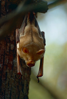 Commerson's Roundleaf Bat (Hipposideros commersoni)