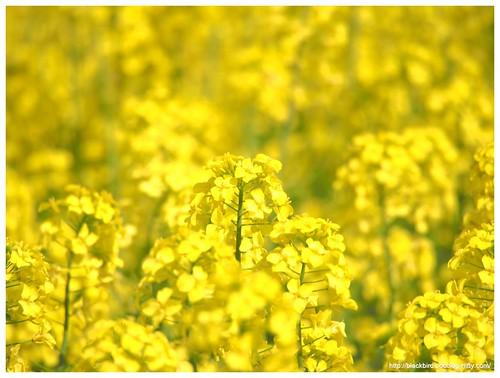 Field mustard $02