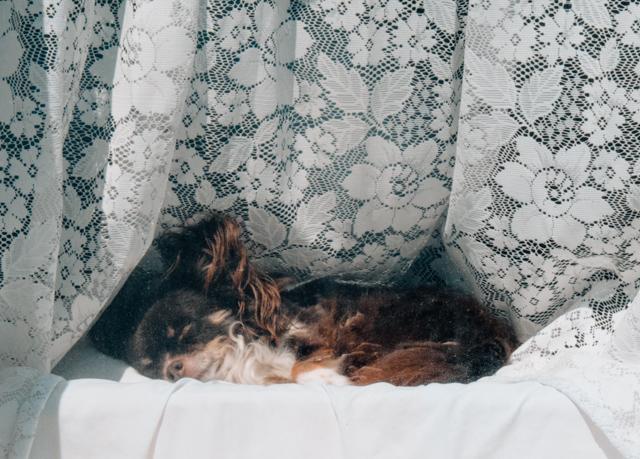 dog asleep in window