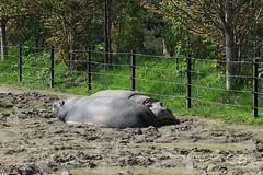Hippos sleeping (2)