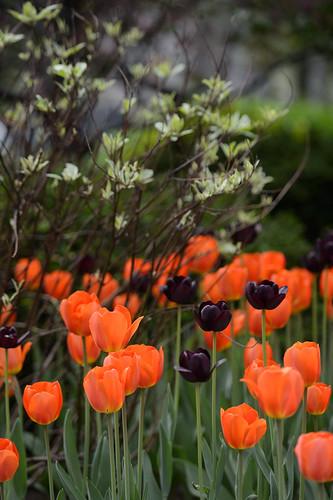 FilipWolak-LSBID-Tulips-6688