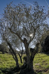 Olive Tree in the Provence