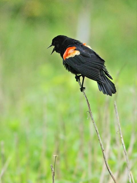 Red-winged Blackbird 20150515