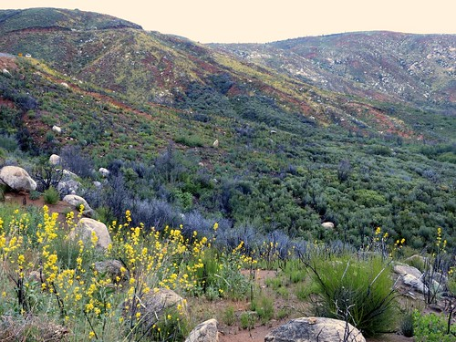 shrub dicentra papaveraceae stanislausnationalforest firefollower rimfirerecovery