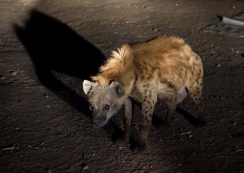 Hyenas Feeding Show, Harar, Ethiopia