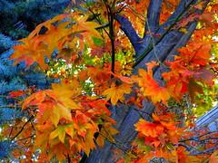 Preferred Colors, Maple Tree