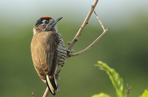 White-barred Piculet (Picumnus cirratus)