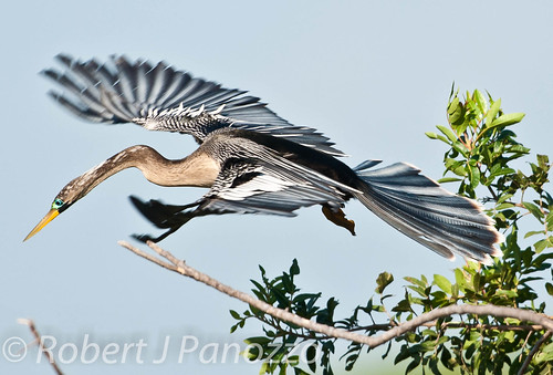 bird explore rookery anhinga explored naturesgallery veniceareaaudubonsocietyrookery