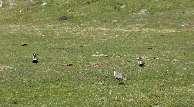 27203 - Golden Plover, Isle of Mull