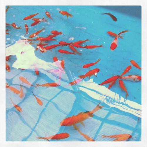 金魚坂で鯖の味噌煮と金魚ワールドを堪能@2012年5月12日 昼食
