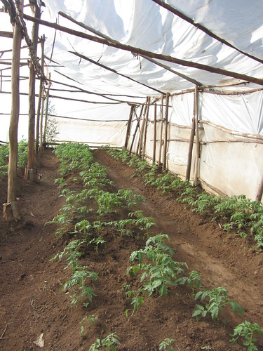Bukati school-tomatoes in greenhouse are sold at a good profit
