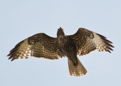 Swainson's Hawk - banded
