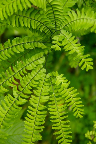 western maidenhair fern  1776