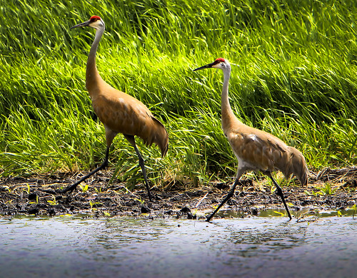 Sandhill Cranes by Ricky L. Jones Photography