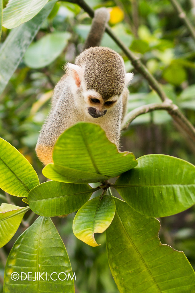 River Safari - Squirrel Monkey 4