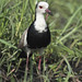 Long-toed Lapwing (Neil Macleod)