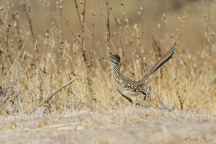 Greater Roadrunner 050513-16