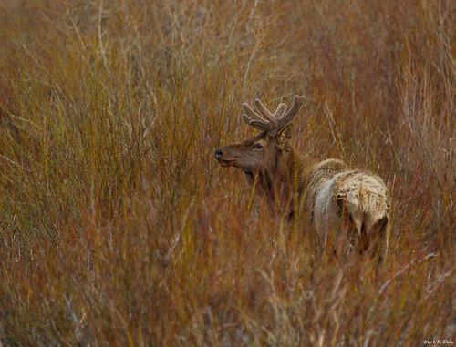 Rocky Mountain Elk, Cervus canadensis
