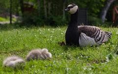 Mother Goose - Skansen
