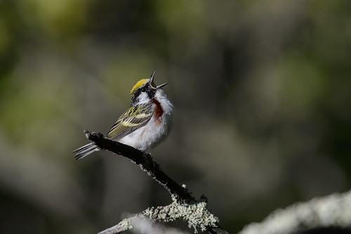 Chestnut-sided Warbler-43608.jpg