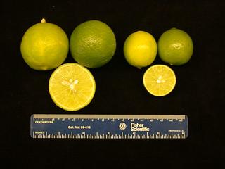 Citrus tristeza: fruit dwarfing