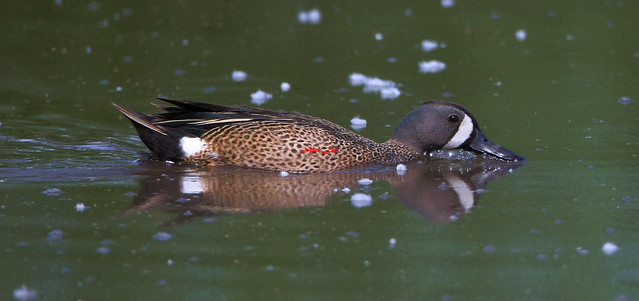 Blue-winged Teal 藍翅鴨 6Z2K7163-1