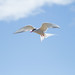Artic Tern in flight by bozza2010