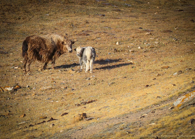 Yaks in the Celestial Mountains - Kyrgyzstan