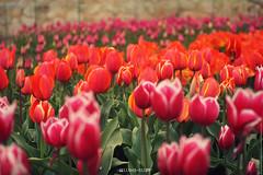 2013.04.20 . Tulips . Yalta