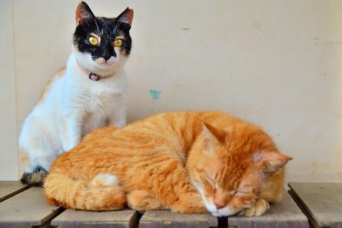 畑の作業小屋で仲良く暮らす二匹の猫 / Two Japan Cats that live peacefully in the work of the field cabin