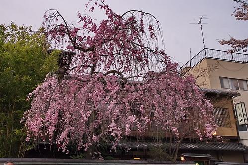 【写真】桜 : 祇園白川(2)