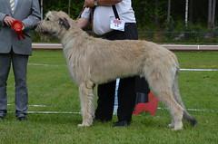 hound(0.0), sighthound(0.0), glen of imaal terrier(0.0), irish soft-coated wheaten terrier(0.0), borzoi(0.0), afghan hound(0.0), dog sports(1.0), animal sports(1.0), dog breed(1.0), animal(1.0), silken windhound(1.0), dog(1.0), scottish deerhound(1.0), sports(1.0), pet(1.0), irish wolfhound(1.0), conformation show(1.0), carnivoran(1.0),