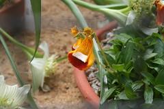 Calceolariaceae