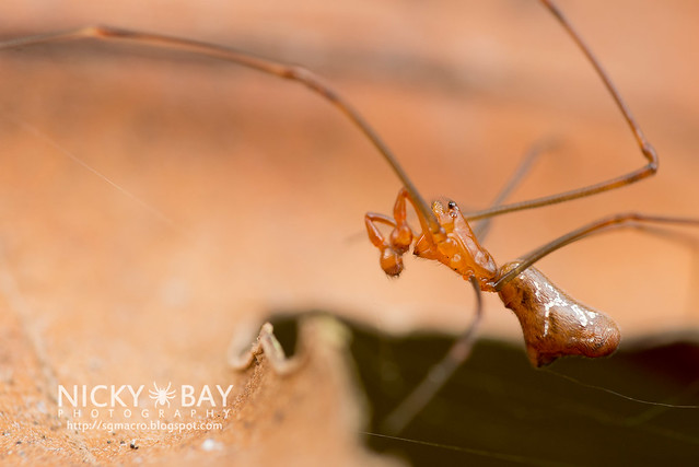 Comb-Footed Spider (Argyrodes sp.) - DSC_2280